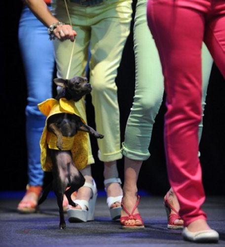 Kramer, a chihuahua, walks the runway with members of the Young Survivors Network through Thompson Cancer Survival Center as part of a fashion show during the News Sentinel Women Today show at the Knoxville Convention Center Saturday, March 17, 2012. (Source: Knoxville News Sentinel)