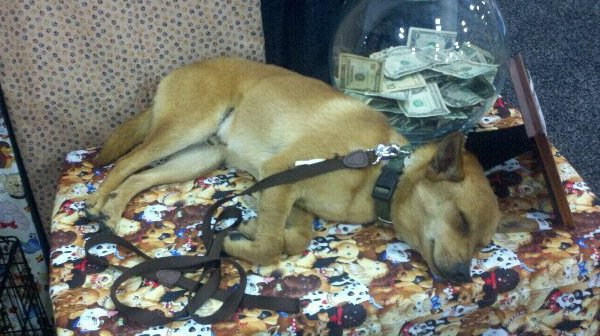 Charlie Brown was dog tired after a long day of greeting people and collecting donations!